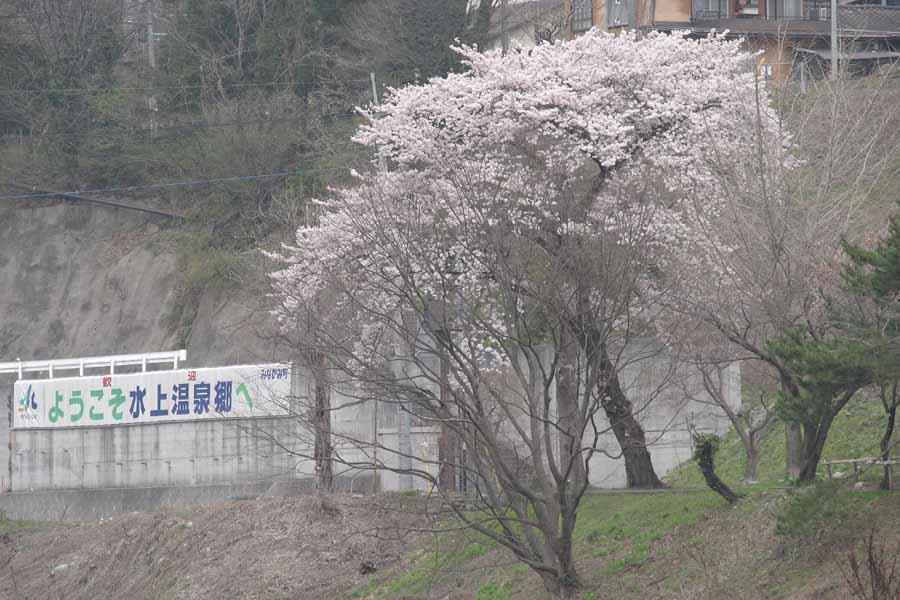 諏訪峡/桜�@