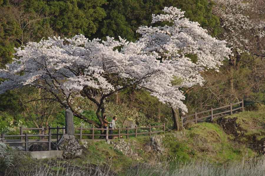 諏訪峡/桜�A