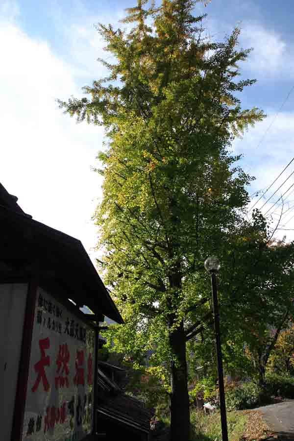 きむら苑/銀杏の木�@