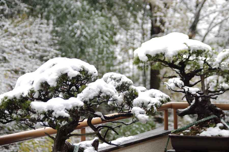 松/雪化粧